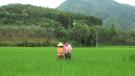 Tân Sơn: Tích cực chăm sóc, phòng trừ sâu bệnh hại lúa mùa