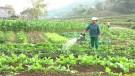 Tân Sơn: Tập trung chăm sóc cây màu vụ Đông