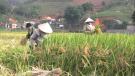 Tân Sơn: Tập trung thu hoạch vụ chiêm xuân