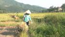 Thu Ngạc tập trung thu hoạch lúa mùa, đẩy nhanh tiến độ sản xuất vụ đông