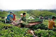 Ứng dụng khoa học kỹ thuật vào khâu thu hoạch chè búp tươi